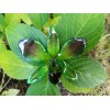 Медальон Орхидея Дендорбиум Луси, лилаво-зелена
