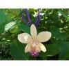 Медальон Орхидея Катлея Сакура, бяла